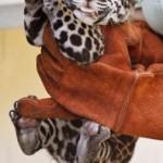 Детеныш ягуара, родившийся 18 июля 2013, получает осмотр 4 сентября 2013 в Джексонвилльском зоопарке